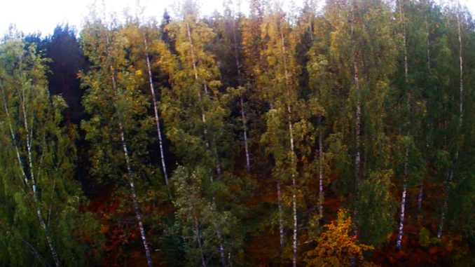 Akça ağaç ormanı