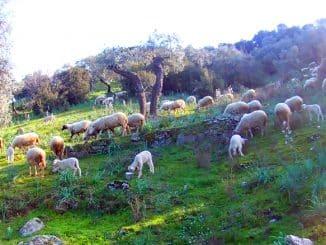 Lampaat luonnossa