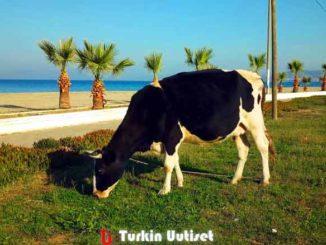 Lehmä Davutlarin rannalla